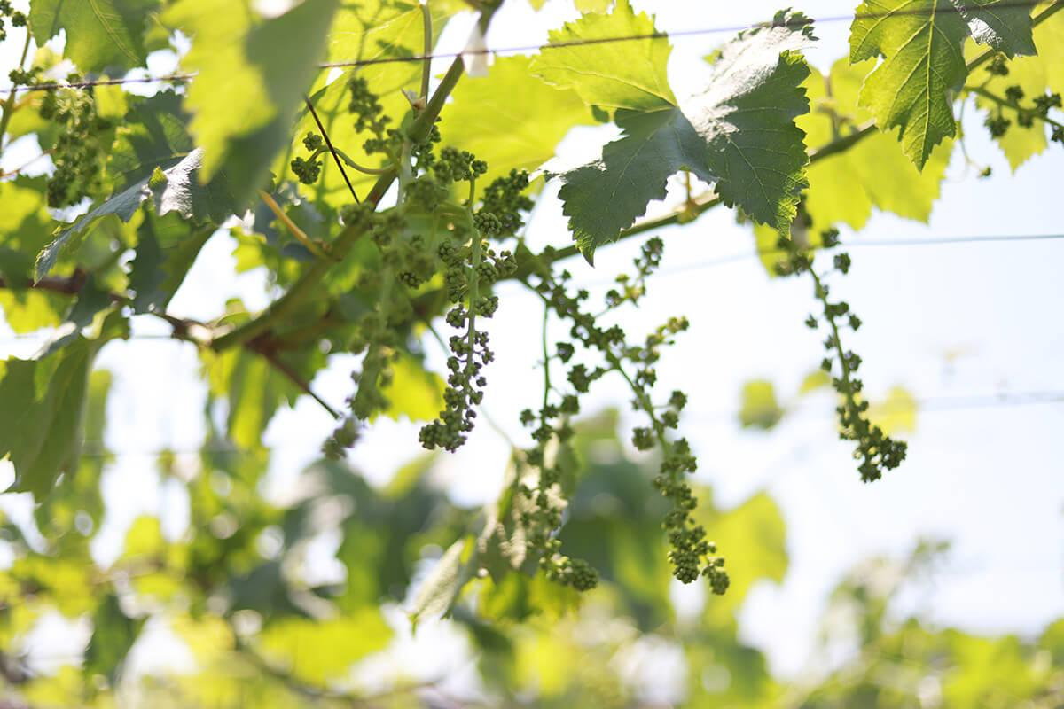 【ぶどうの栽培効率化の研究①】春、ぶどうの新芽と研究の芽吹